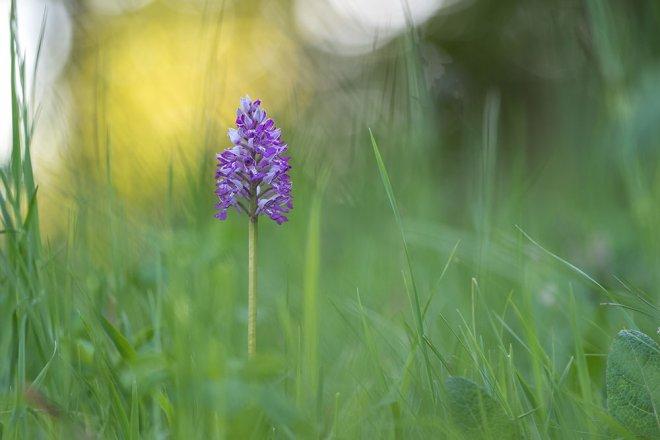Wiesenblume Helm-Knabenkraut