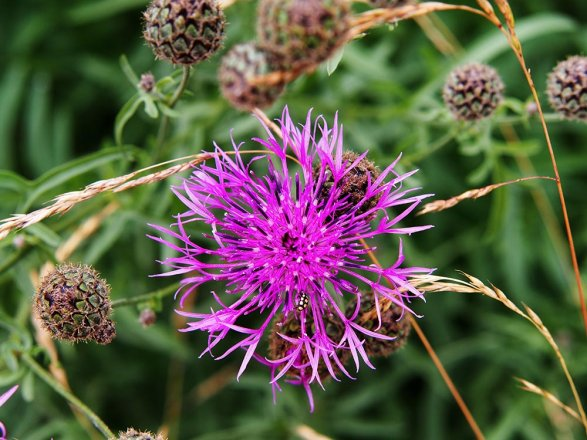 Skabiosen-Flockenblume