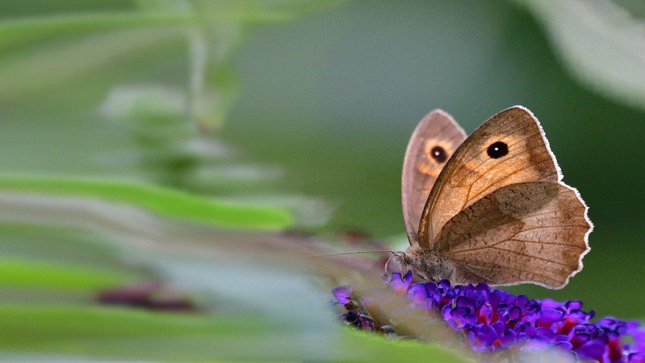 Schmetterling Ochsenauge