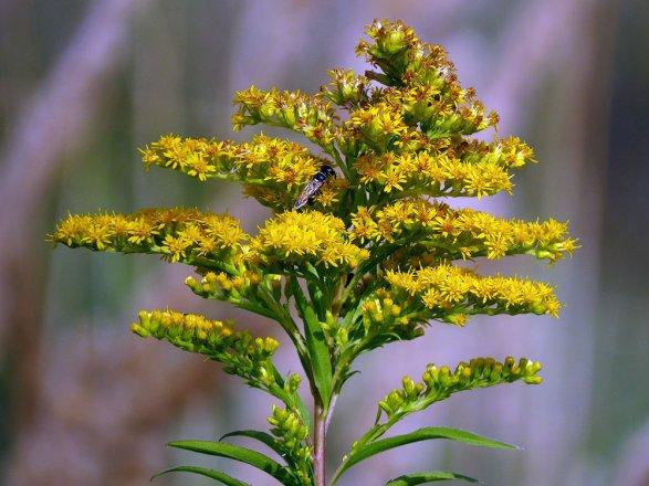 Herbstblumen Spaete Goldrute