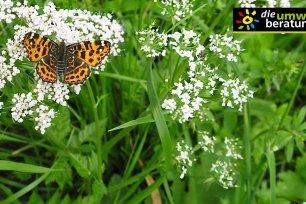 Schmetterlingsblumen in deinem Garten