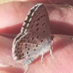 Schmetterling Thymian Blaeuling