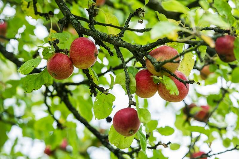 Alte Apfelsorten. Kronprinz Rudolf