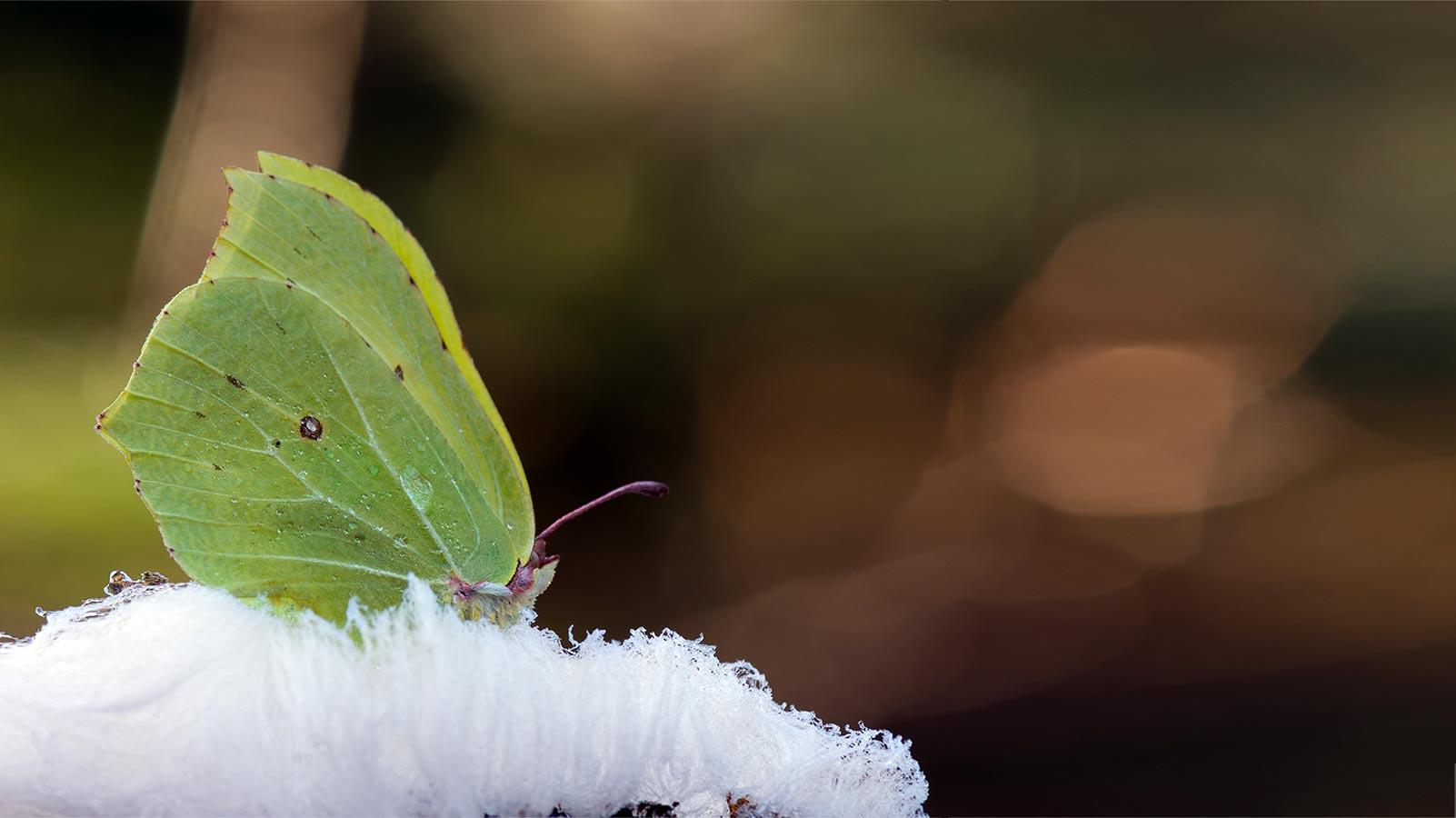 Schmetterlinge ueberwintern Zitronenfalter