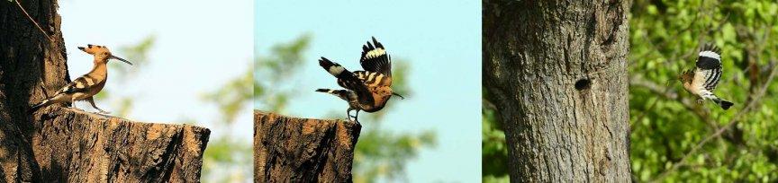 Naturschutzprogramm FLORA Wiedehopf