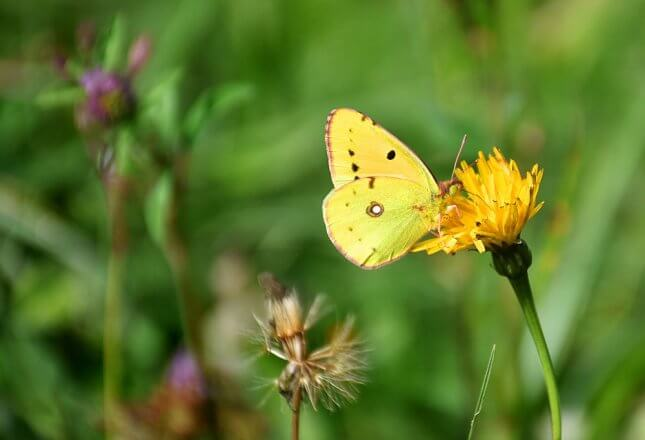 Schmetterling Weißklee Gelbling