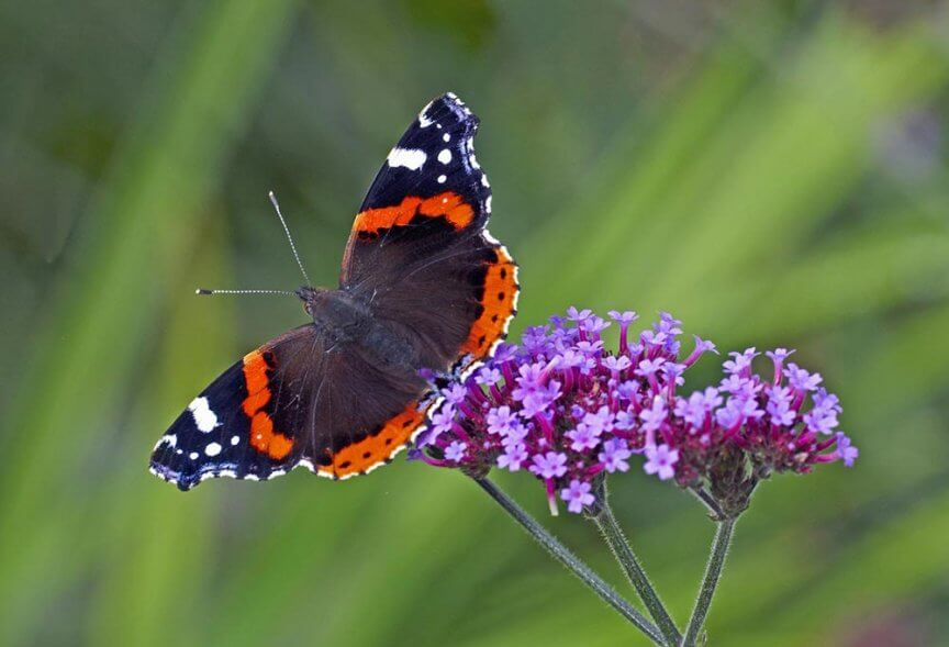 Schmetterling Admiral Falter