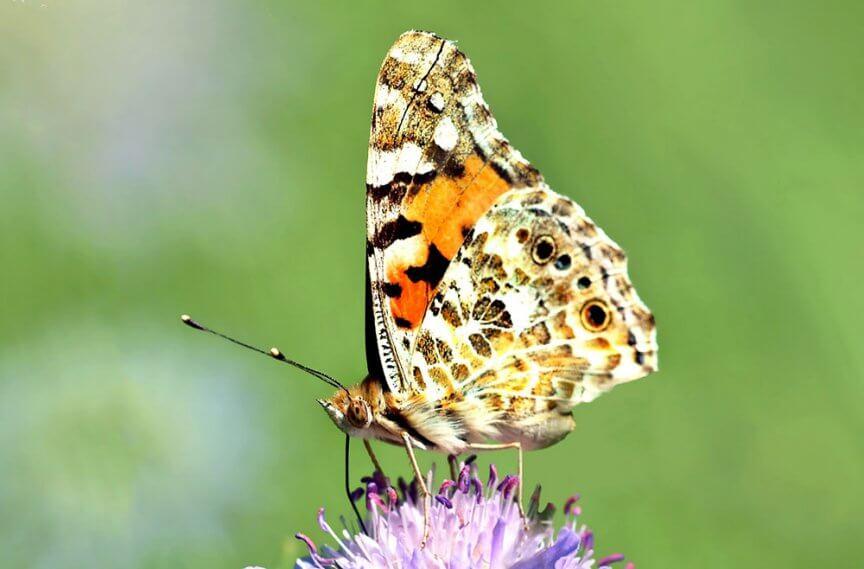 Schmetterling Distelfalter