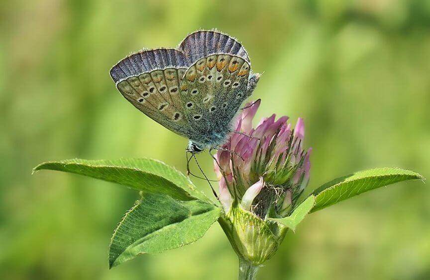 Schmetterling Hauhechelblaeuling