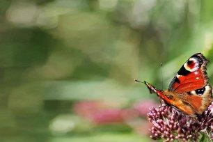 Insektensterben Tagpfauenauge