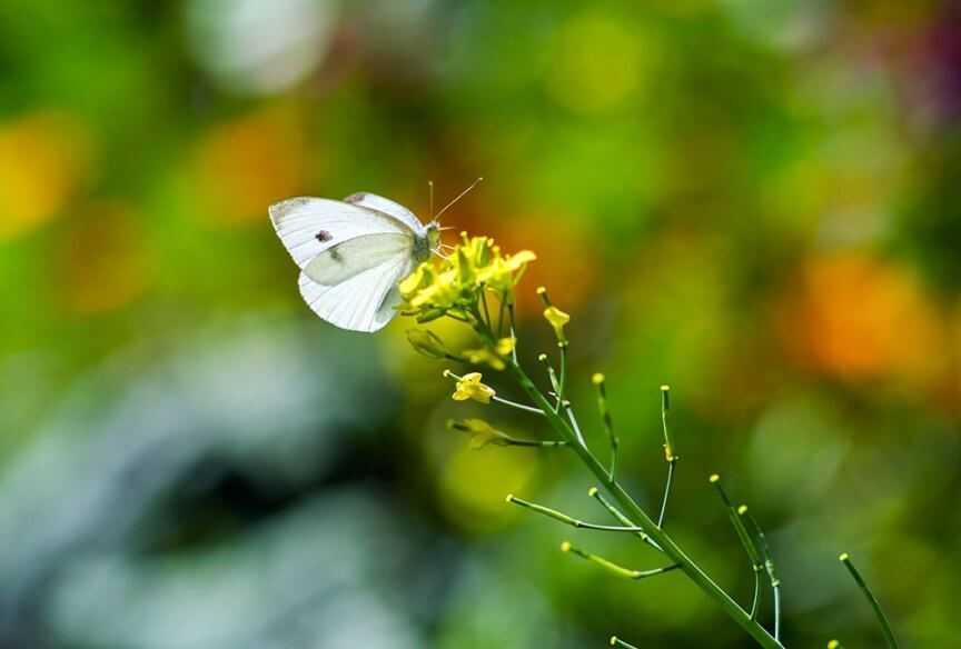 Schmetterling kleiner Kohlweißling