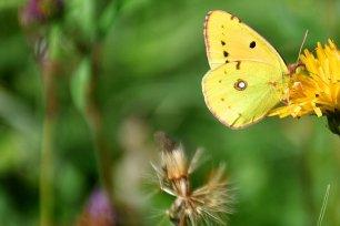 Schmetterling Weißkleegelbling