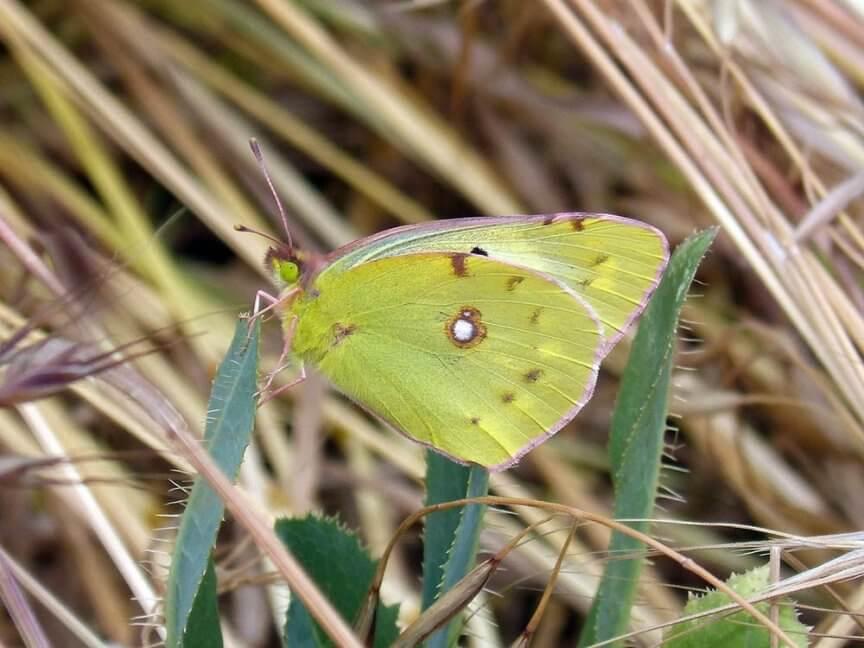 Schmetterling wander gelbling
