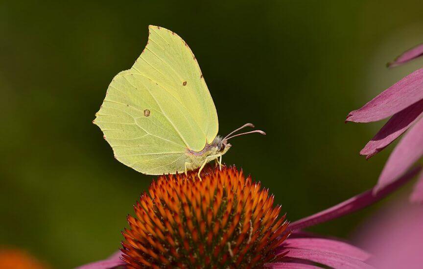 Schmetterling Zitronenfalter
