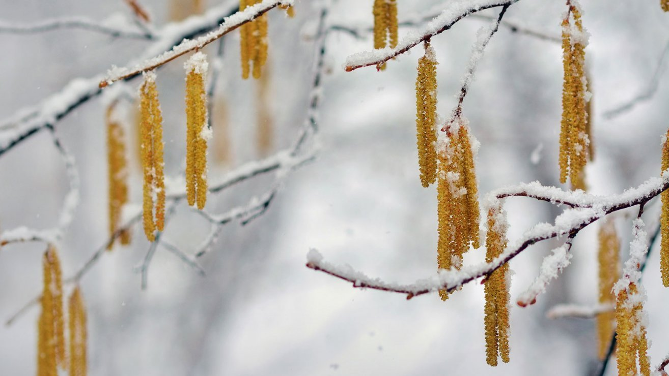 knospen im Winter Hasel