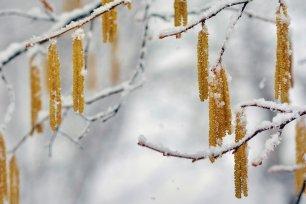knospen im Winter Hasel