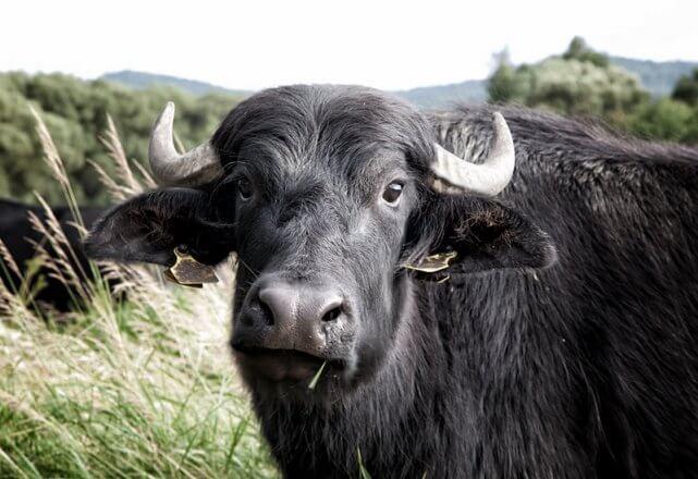 Brennnessel Gewinner Gmünd Wasserbüffel