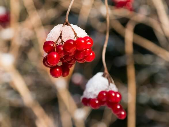 immergruene Pflanzen Schneeball