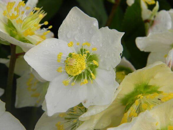 immergruene Pflanzen Schneerose