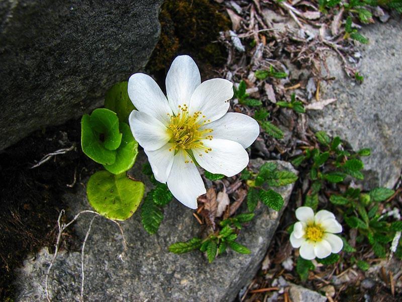 immergruene Pflanzen Silberwurz