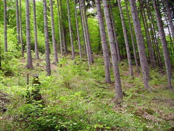 Renaturierung Thayatal Wald
