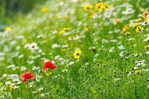 Saatbombe Blumenwiese