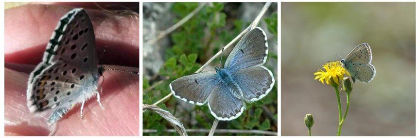Schmetterlingsreport Blaeuling