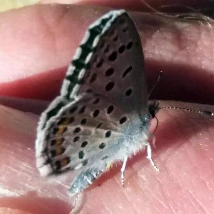Schmetterlingsreport Thymian Blaeuling