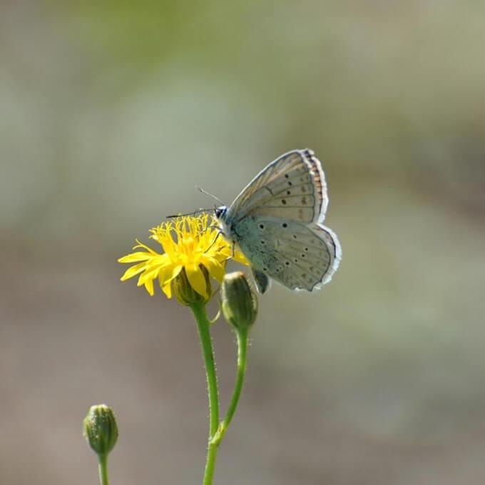 Schmetterlingsreport Zahnfluegel Blaeuling