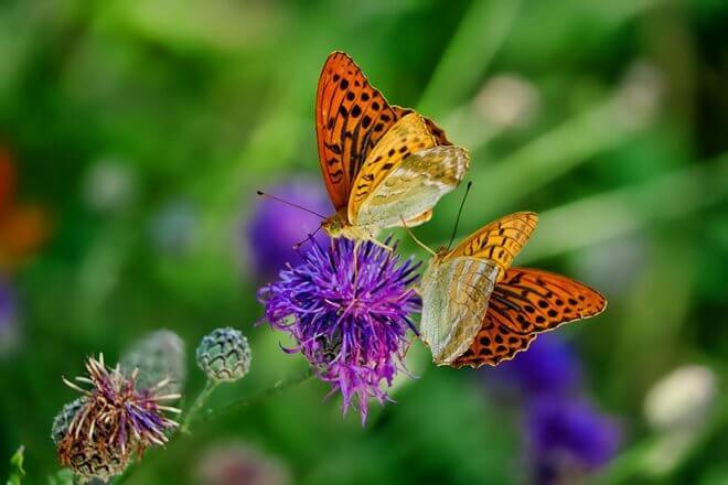 Schmetterlingsreport Kaisermantel