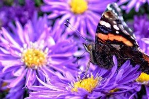 Schmetterlingsreport Admiral