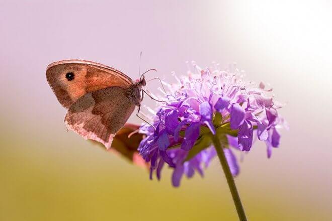 Schmetterlingsreport Großes Ochsenauge