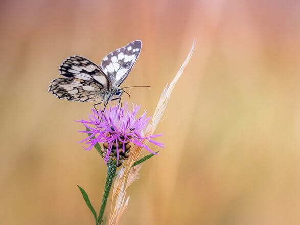 Schmetterlingsreport Schachbrett