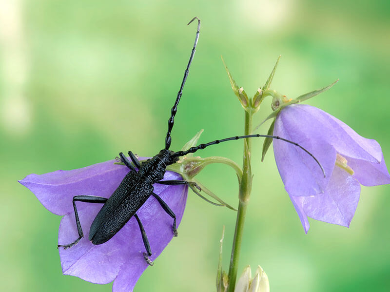 Käfer kleiner Eichenbock Cerambyx scopolii
