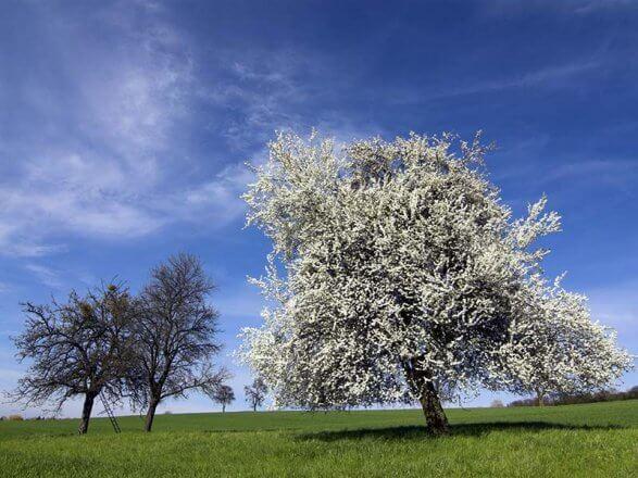 Laubbaeume Wildkirsche Prunus avium