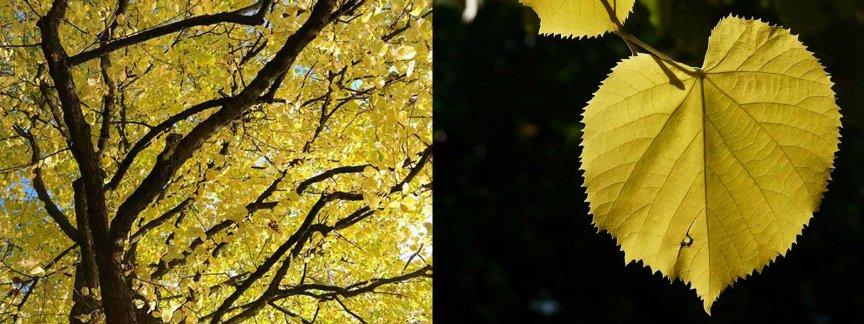 Laubbaeume sommerlinde Tilia platyphyllos