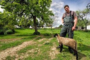 Schafe schaeren