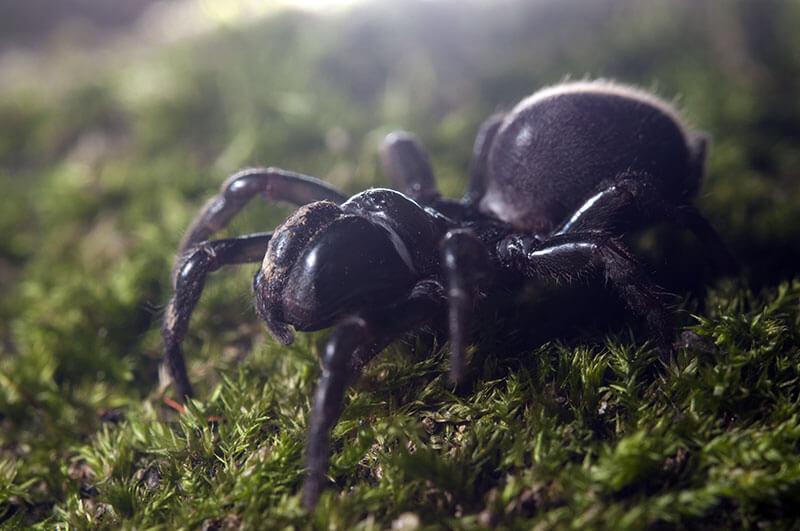 spinnen Gemeine Tapezierspinne Atypus affinis