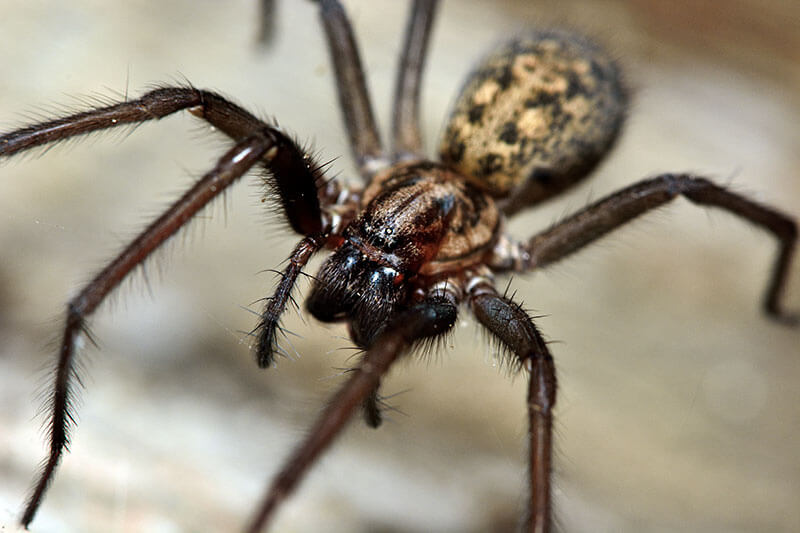 spinnen Hauswinkelspinne Tegenaria domestica
