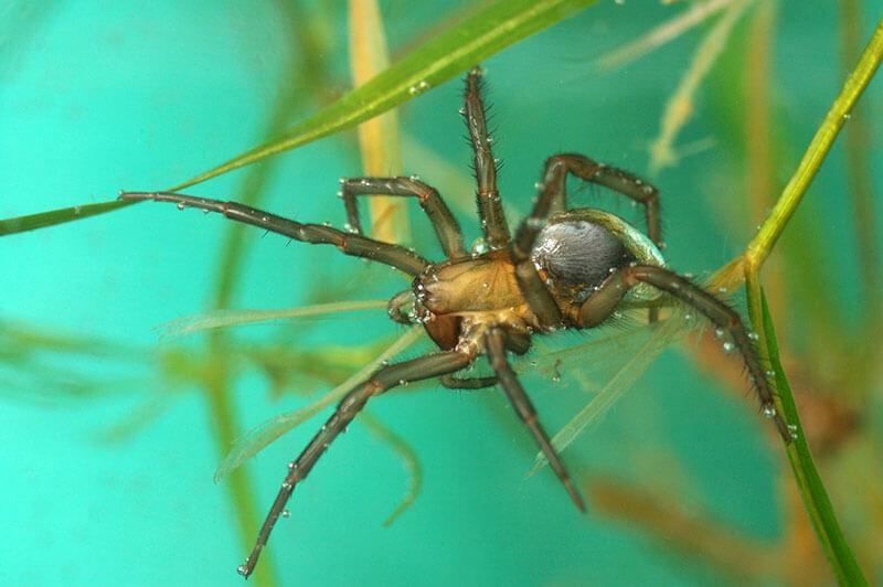 spinnen Wasserspinne Argyroneta aquatica
