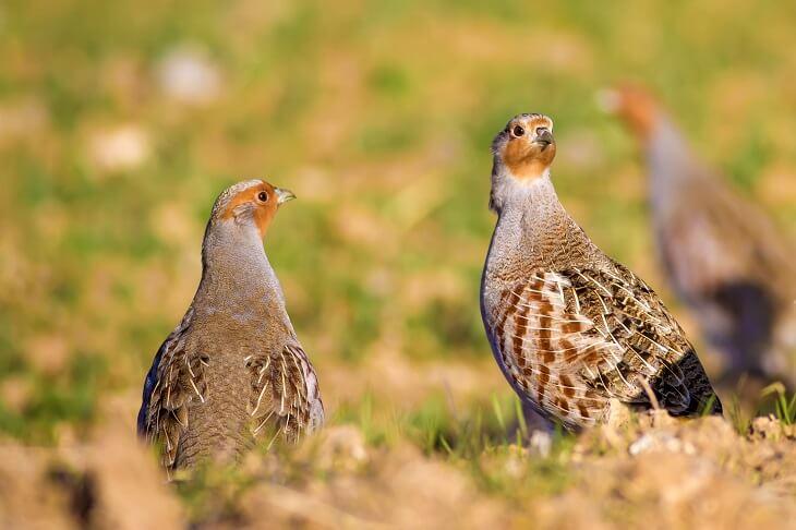 Rebhuhn c shutterstock/Nature Bird Photography