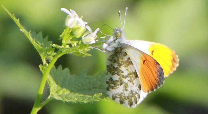 Aurorafalter von Schmetterlingsapp Nutzerin Emma D.