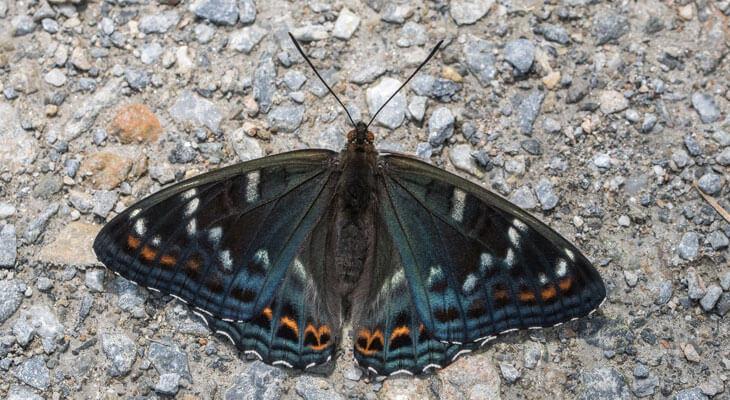 Grosser Eisvogel von Schmetterlingsapp Nutzer Matthias H.