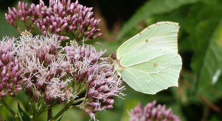 Zitronenfalter von Schmetterlingsapp Nutzer Stefan G.