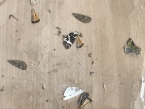 Die Reste einer Fledermausspeise - die Flügel der Falter bleiben übrig © Ch. Schwann