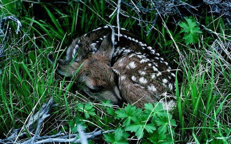 Wie Tiere schlafen: Rehkitz