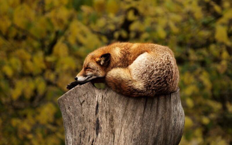 Wie Tiere schlafen: Fuchs