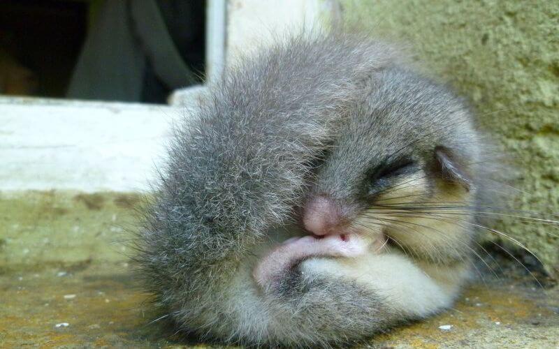 Wie Tiere schlafen: Siebenschläfer