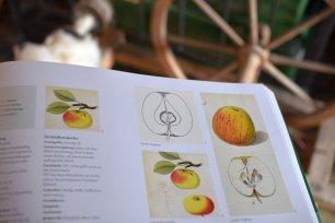 Anleitung zum Veredeln von Apfelbäumen (c) Stella Haller