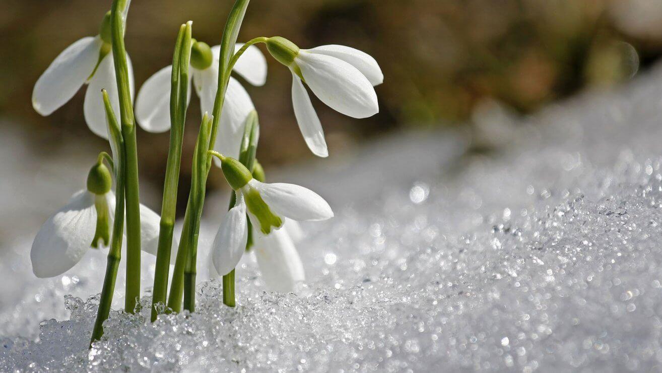 Fruehlingsblumen Schneegloeckchen